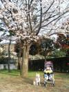 Sakurakourei